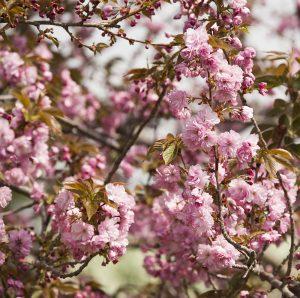 Photo of Prunus Kanzan