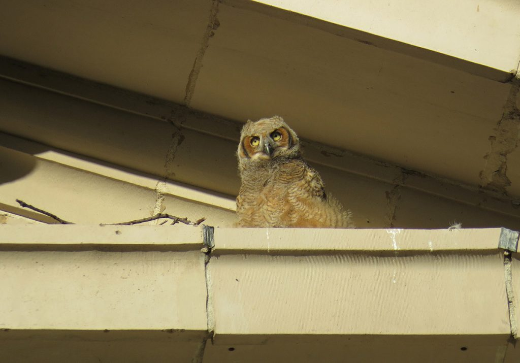 Photo of an owlet