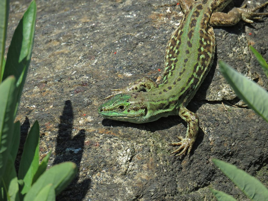 Photo of an Italian wall lizard
