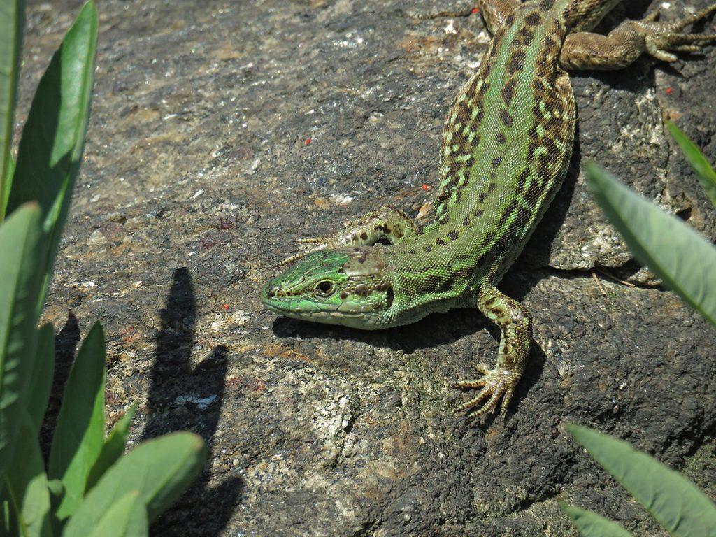 Photo of an Italian wall lizard