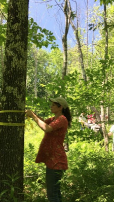 Photo of a volunteer measuring an American ash