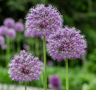 Photo of blooming alliums