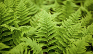 Photo of the hardy fern collection