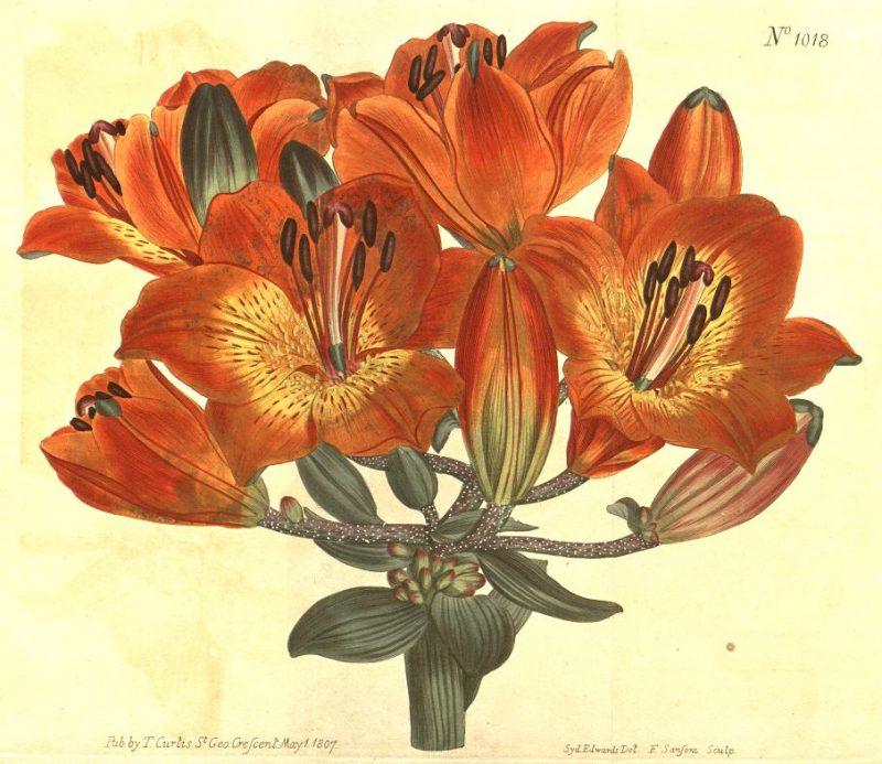 Illustration of Lilium bulbiferum