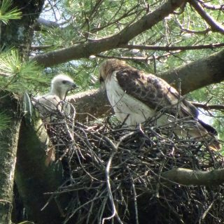 Photo of Red-tailed Hawk parent and offspring