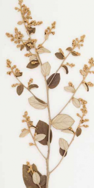 Photo of an herbarium specimen