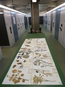 Herbarium specimens related to the Edison Botanic Research Corp.