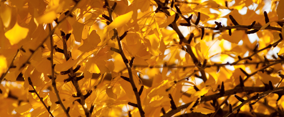 The familiar autumn leaves of Ginkgo biloba.