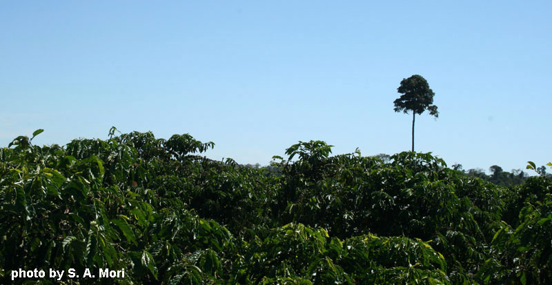 A large forest tree standing alone amidst a sea of coffee plants.