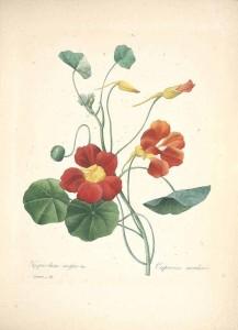 Nasturtium/Tropaeolum (P. J. Redouté, 1833)