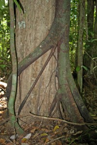 A strangler fig embracing its host tree with an unfriendly hug