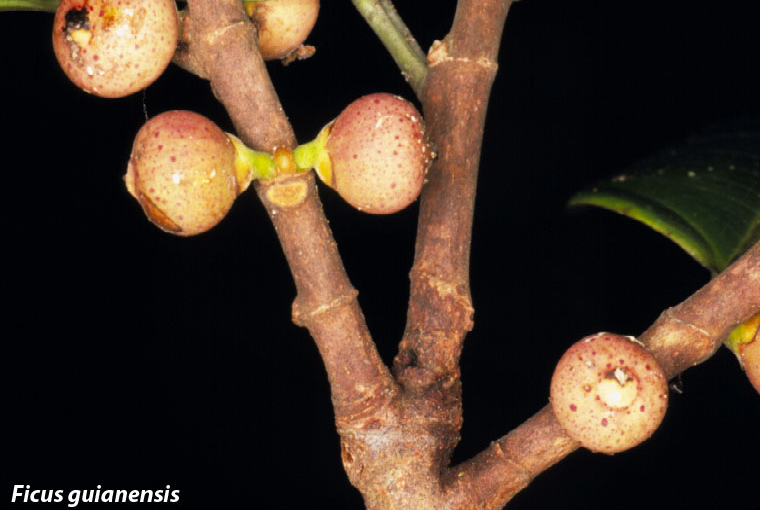 A small, reddish fig dispersed by birds