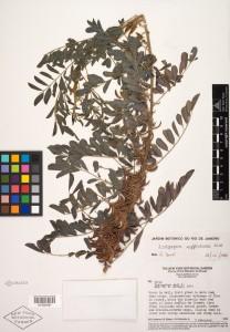 Herbarium specimen of Indigofera suffruticosa