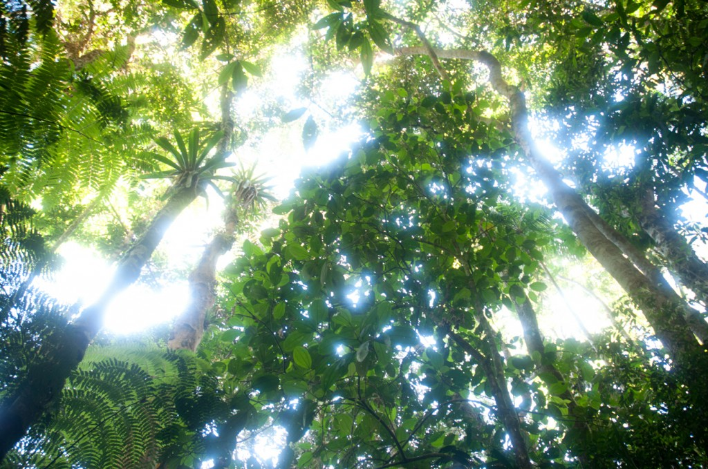 Canopy of Atlantic Forest in Espiritu Santo. Less than 11 percent of the original forest remains.