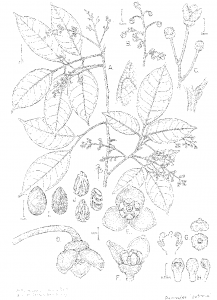 A botanical illustration of Dacryodes patrona by Bobbi Angell. A scientifically accurate illustration such as this is prepared for every new plant species.