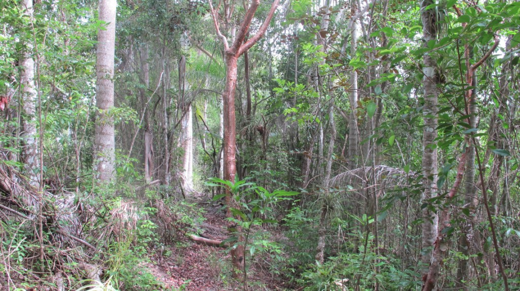 Semi-deciduous forest in the Jobo Rosado Protected Area