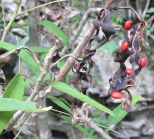 The dried beans and hard red seeds of the endangered Erythina elenae