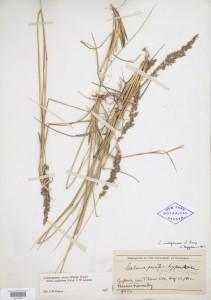 Calmagrostis neglecta specimen collected in 1912