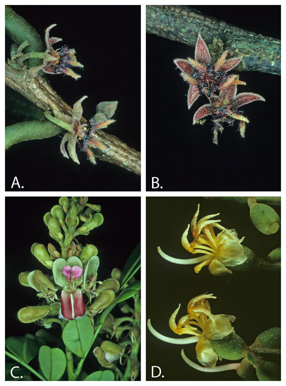 Examples of  discoveries made while exploring for plants as part of a floristic project. A-B. Byttneria morii, a new species discovered on an expedition to collect plants for the Guide to the Vascular Plants of Central French Guiana project. A. Lateral view of flowers showing black extensions from the petals. B. An apical view of the flowers showing that the dark outgrowths of the petals appear ant-like.  C. Monopteryx inpae, the first collection of this species from French Guiana. D. Miconia cacatin a species incorrectly placed in Melastoma by Aublet 1775 and correctly moved to Miconia by Susanne Renner in 1989. A-C photos by S. A. Mori, D photo by C. Gracie.
