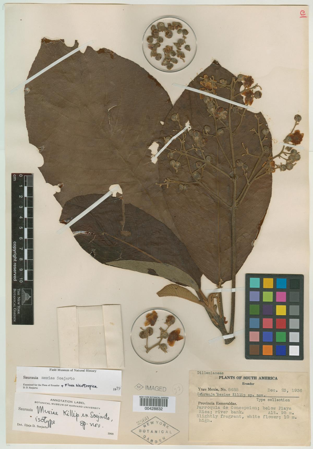 Saurauia mexiae Steere Herbarium type specimen