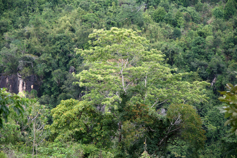 Habitat of Pentaspadon poilanei on Tien Du Mountain, near Nha Trang City, Khanh Hoa Province.