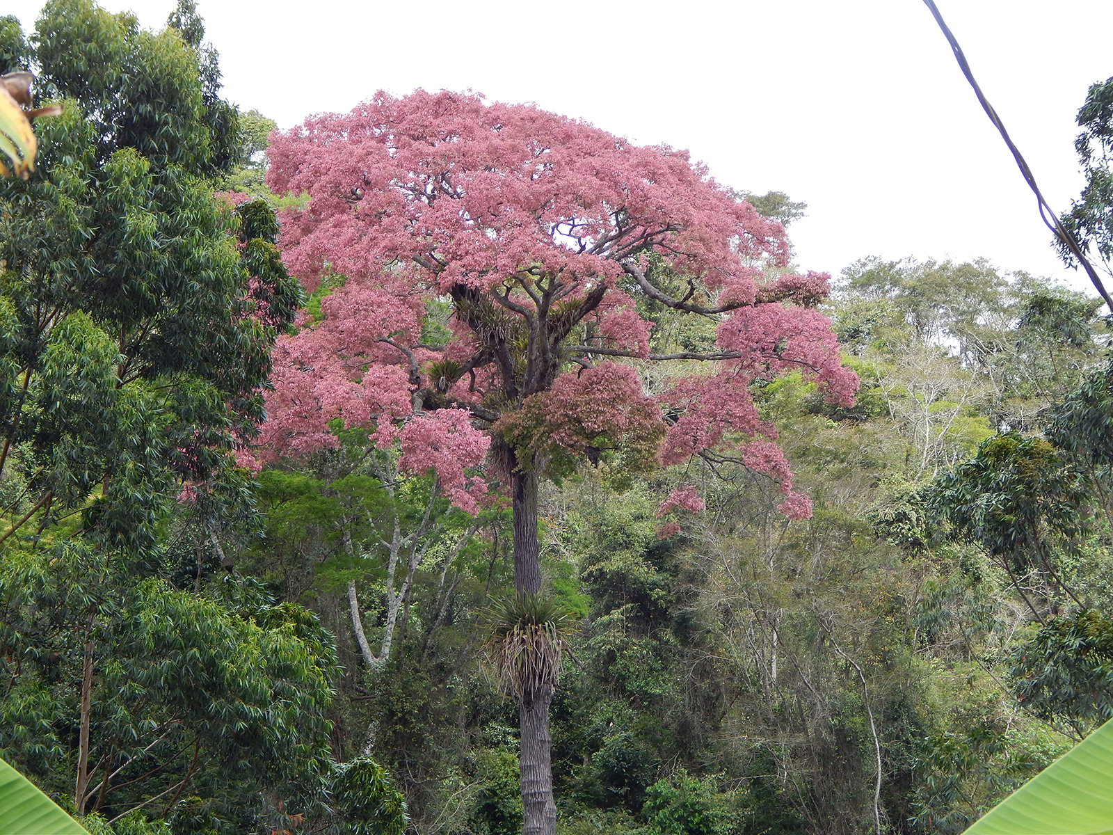 sapucaia (Lecythis pisonis) Brazil