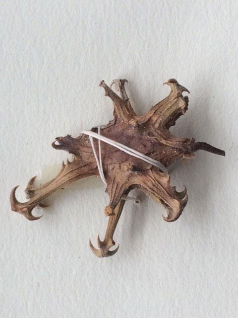 Harpagophytum procumbens Devil's Claw