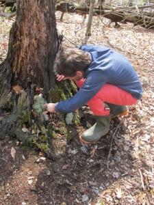 James Lendemer examining a reindeer lichen transplant
