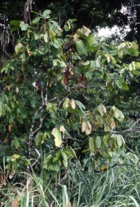 Witches' Broom Disease Moniliophthora perniciosa theobroma cacao