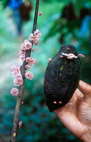 Moniliophthora perniciosa mushrooms on a cacao pod. (Photo: Google Images)