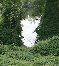 Ampelopsis Green Veil