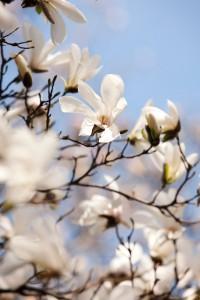 Magnolia-salicifolia-