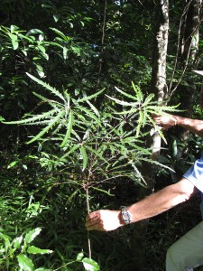 A Schefflera plant, shown in its native habitat on New Caledonia, an island in the South Pacific