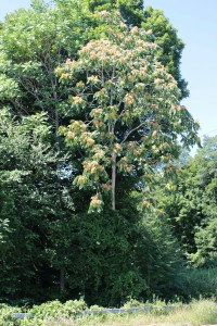 A tree of heaven growing along the Sawmill River Parkway.