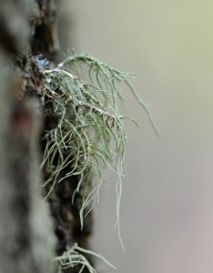 Old man's beard (Usnea strigosa) on the trunk of an oak tree.