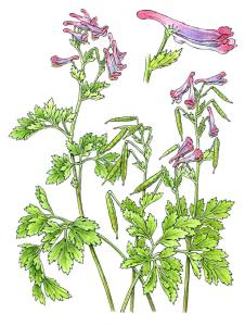 Corydalis incisa</em (Bobbi Angell, 2015)
