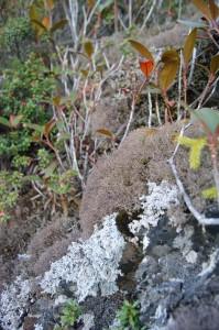Cladonia_appalachensis_Lendemer