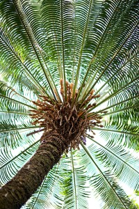 Palms of the World Gallery cycad