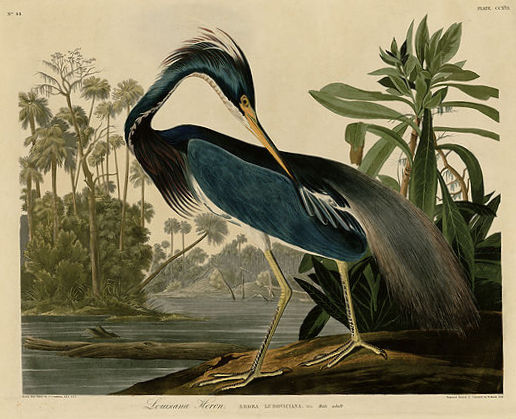 Louisiana Heron (now known as the Tricolored Heron) from John James Audubon's The Birds of America. Courtesy of the University of Pittsburgh.
