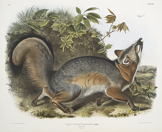 Audubon's Grey Fox