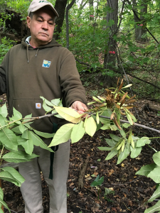 Jim Coelho and pumpkin ash on the Bronx River. Pumpkin ash has the largest fruit of any species in North America.