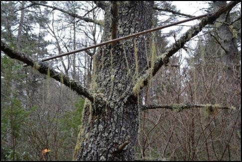 Installed hanging lichen transplants