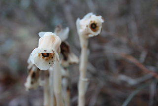Indian pipes at Arbuckle Wilderness Management Area in Polk County, Florida
