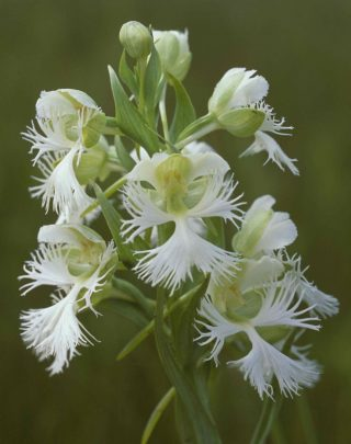 Western_Prairie_Fringed_Orchid