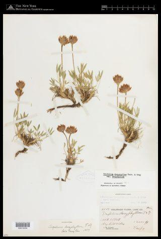 A herbarium specimen of alpine clover (Trifolium dasyphyllum), showing its short stature.