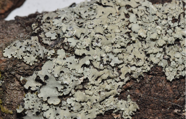 Photo of lichen