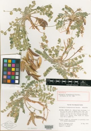 a herbarium specimen of the Holmgren milk-vetch.