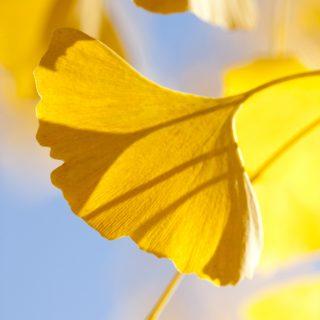 A photo of a ginkgo leaf