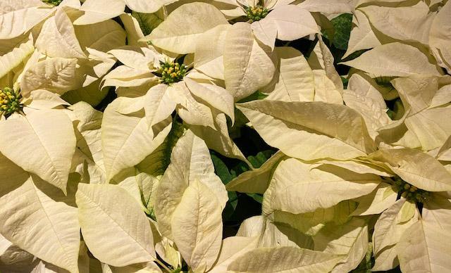 Photo of white poinsettias