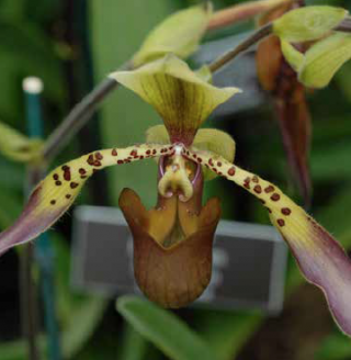 Photo of a Paphiopedilum orchid